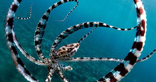 Octopus ✿ ocean life