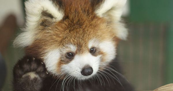 The cutest thing I ever done seen!!! A baby red panda waving