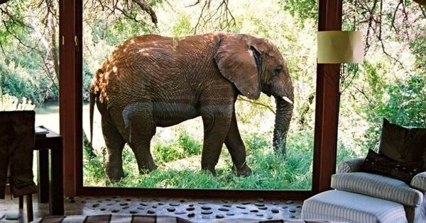 An elephant outside a suite window at Makanyane Safari Lodge. So cool!