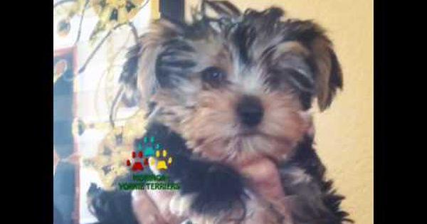 Moringa Yorkies Video 39 S Yorkie Puppies For Sale Moringa