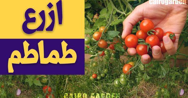 ازرع طماطم و ك ل كل يوم طماطم ببلاش Vegetables Tomato Plants