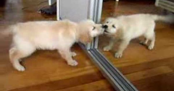 Retriever Puppy Playing With Mirror Youtube Super Cute Animals Puppy Play Retriever Puppy