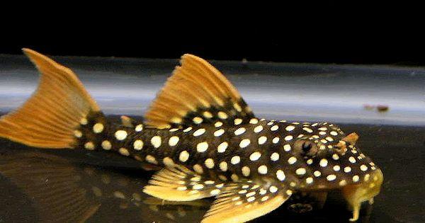 Freshwater fish, Fish and Medium on Pinterest