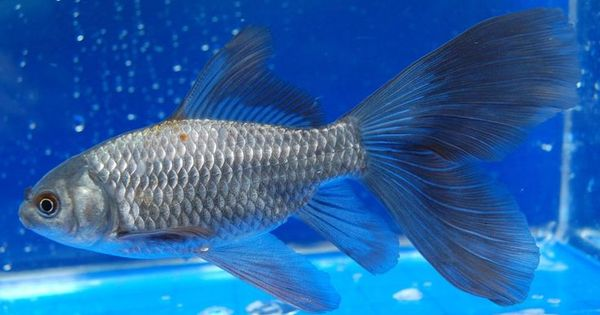 Blue bristol tailed comet goldfish pinterest for Comet pond fish