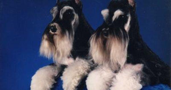 Miniature Schnauzers Paycheck And Hotshot Canadian Champs Schnauzer Puppy Miniature Schnauzer Love Pet
