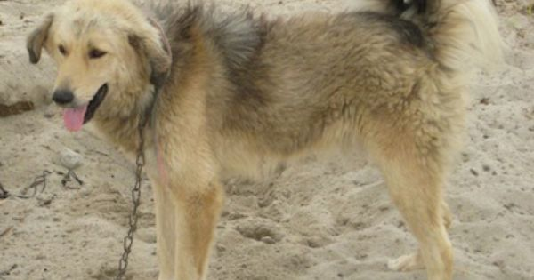 Bakharwal Dog Kashmiri Mastiff Kashmir Sheepdog Bakarwal