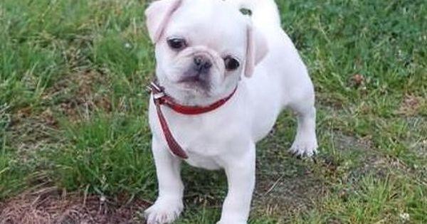 Cute White Pug Puppy | White Pug Puppies | Pinterest ... White Baby Puggles