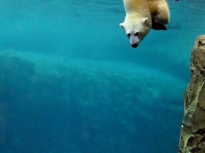 P-P-P-POLAR BEARS TIME!!!The polar bear (Ursus maritimus) is a carnivorous bear whose
