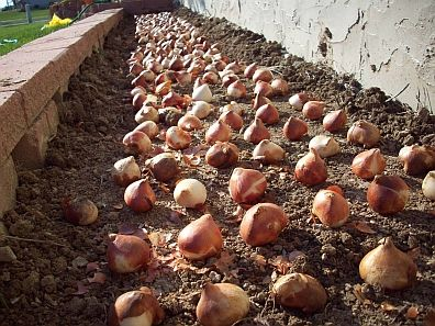 Planting Tulips Intro Garden Bulbs Lawn And Garden Planting Tulips