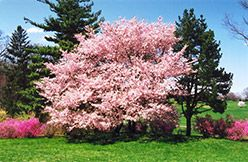 Click To View A Full Size Photo Of Accolade Flowering Cherry Prunus Accolade At Skillins Greenhouse Prunus Plants Flowering Trees