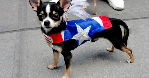 Couture Dog Bogie As A Puppy Of 5 Months Puerto Rican Day Parade