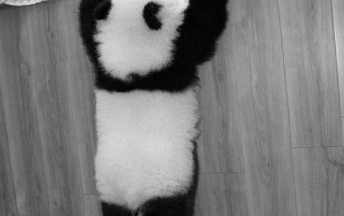 a baby panda bear plays at the ya'an bifengxia base of china