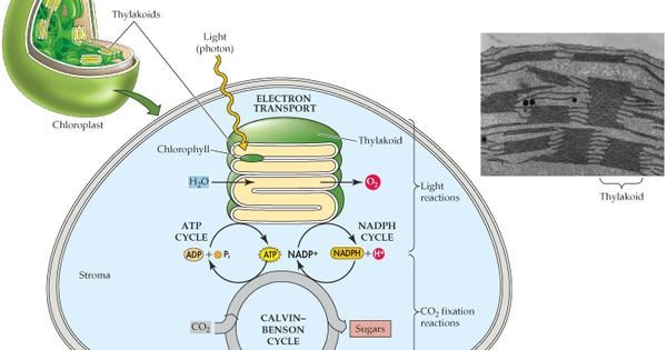 Biochemistry - Photosynthesis and Respiration