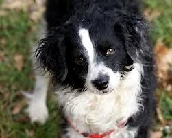 Bordoodle Mix Of Border Collie And Poodle Bordoodle Border Collie Poodle Mix Collie Poodle Mix