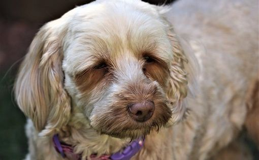 Pin On Cockapoo Puppies