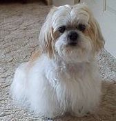 Differences Between Lhasa Apso And Shih Tzu Lhasa Apso Lhasa Apso Puppies Lhasa