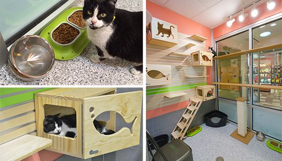 Boulder Colroado Animal Shelter Cat