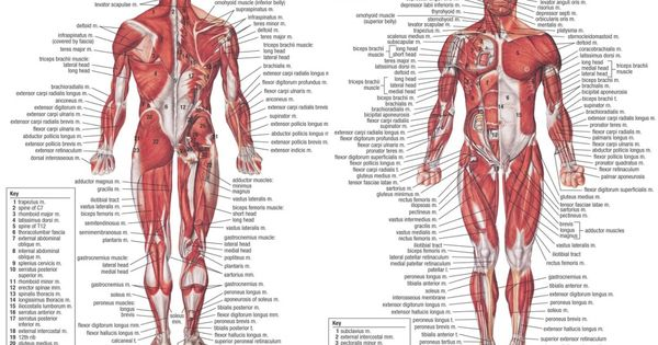 human muscle anatomy diagram – lickclick, Muscles