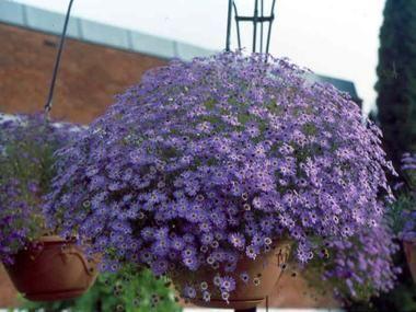 Czubatka Ubiorkolistna Jednoroczne I Dwuletnie Baza Roslin Plants Flowers Nigella