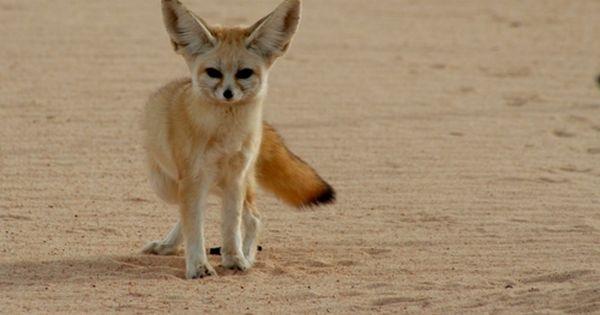 حيوانات الصحراء الجزائرية الفنك هو ثعلب صغير ويسمى أيضا ثعلب الصحراء يعيش في الصحراء الكبرى بشمال إفريقيا وعلى وجه الخصوص الجزائر Fennec Fox Fox Pictures Fox