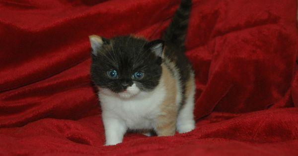Stirling Bridge Cattery Kittens Cattery Scottish Fold Kittens Kittens