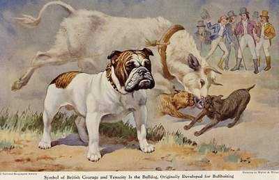 Bull Baiting Bulldog Breeds