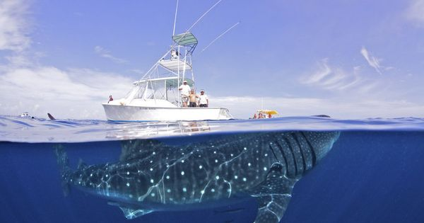 A 50ft-long whale sharks dwarfs a 32-foot-long luxury yacht off the coast