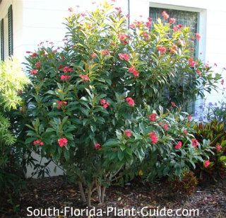 Jatropha Florida Native Plants Florida Plants Plants That