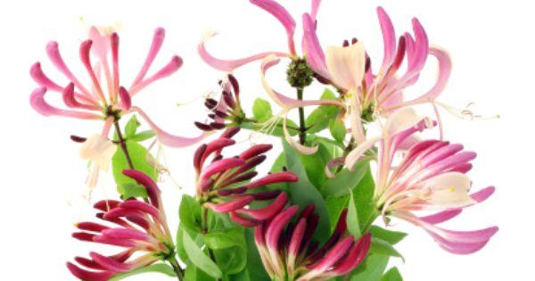 Fun Flower Facts Honeysuckle Honeysuckle Flower Honeysuckle Beautiful Flowers