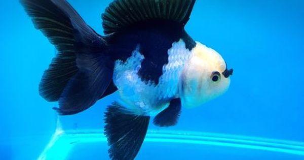 Panda Oranda Goldfish Oranda Goldfish Goldfish Goldfish Tank