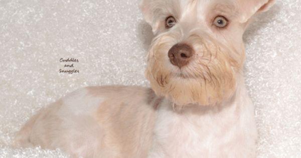 Morkies For Sale Iowa Breeders Poodles Keokuk Ia Schnauzer Puppy Schnoodle Mini Schnauzer