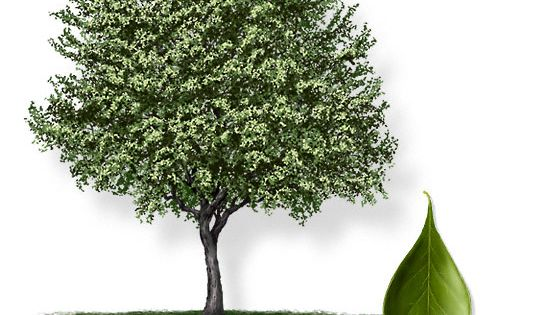 Common name bluewood brasil latin name condalia for Small sized evergreen trees