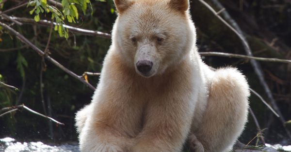 WWF Canada - The Great Spirit Bear. Only in Canada...That's no pity!