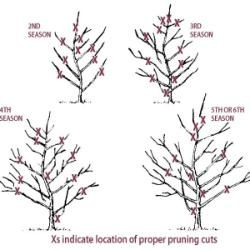 Whitney Crabapple From Stark Bro S Pruning Fruit Trees Aquaponics Pruning Apple Trees