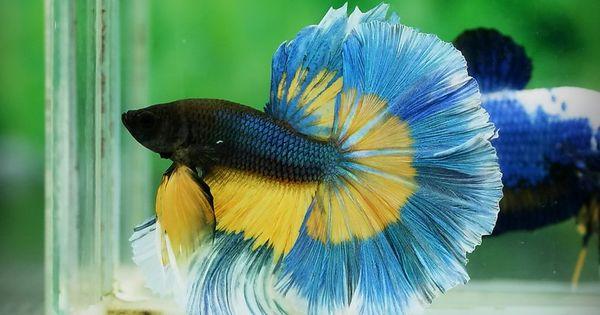 Blue And Yellow Butterfly Fancy Bettas Pinterest