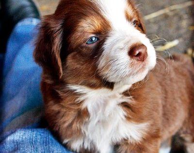 AN AUSSIE Puppy?