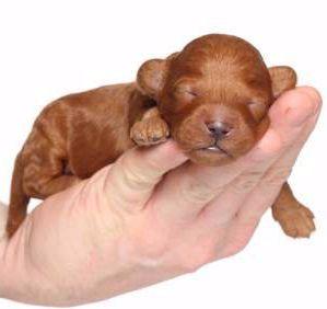 Precious Newborn Poodle Puppy Sweet Dreams Poodle Puppy