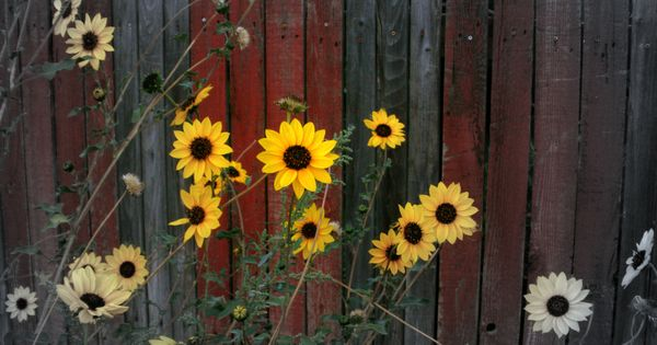 Sunflowers quot sunflowers in the morning quot pinterest sunflowers