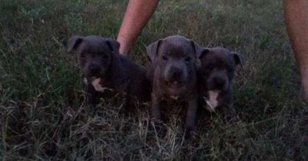 Purebred Staffy Pups Staffy Pups Staffordshire Bull Terrier Puppies Dog Breeds