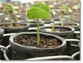 Growing Coffee Beans At Home Growing Coffee Plants At Home Is A