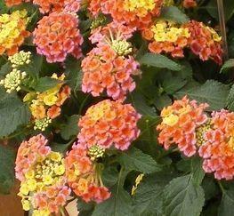 Bandana Peach Lantana Lantana Plant Lantana Plant Sale