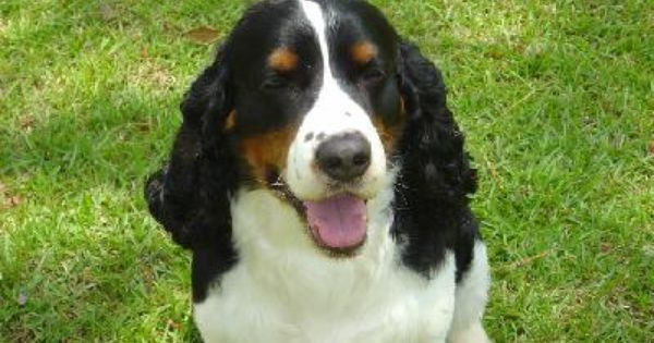 Breeder Classified Ads From Dog Breed Info Center R English Springer Spaniel Puppy Springer Spaniel English Springer Spaniel