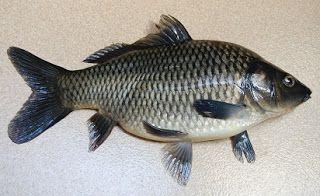 Ikan Mas Kumpulan Umpan Ikan Mas Umpan Ikan Mas Harian Air Hijau Umpan Ikan Mas Harian Musim Hujan Umpan Ikan Mas Super Umpan Ikan Ikan Ikan Mas Ikan Air Tawar