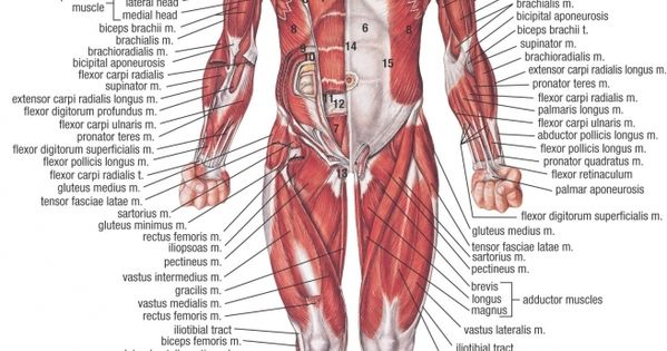 anatomy and physiology of the human skeleton and muscles Anatomy and physiology of the human skeleton and muscles - skeletal muscles - biology bibliographies - in harvard style skeletal muscle anatomy and physiology.