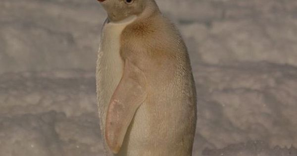 Story says albino penguin, I'd go for leucistic.