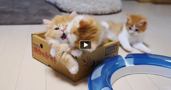 There Is A Little Box And Few Cats In It It Is Just Enough For These Kittens To Have Some Fun They Bite Each Other And F Munchkin Kitten Kittens Munchkin
