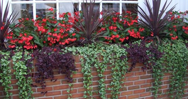 Love The Trailing Ivy Blossoms Pinterest Ivy Yards