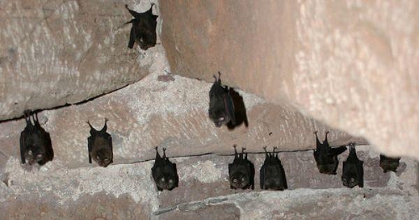 How To Get Rid Of Bats Getting Rid Of Bats Bats In Attic Bat