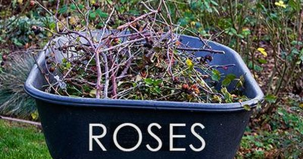 Rose Pruning - How to Prune Your Roses DIY