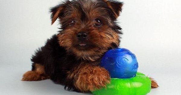 Puppies Puppies Yorkie Pets
